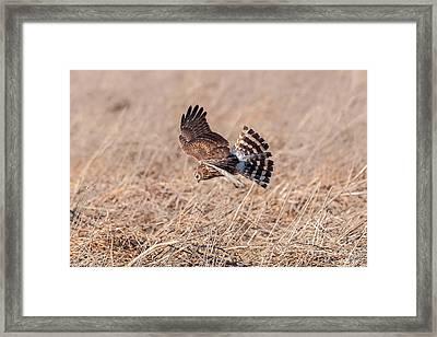 Hen Harrier Framed Print by Don De la Rambelje