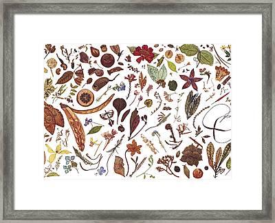 Herbarium Specimen Framed Print by Rachel Pedder-Smith