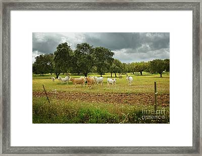 Herd Of Cows Framed Print by Carlos Caetano