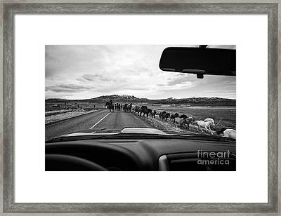 Herd Of Icelandic Horses Being Driven Across The Road Iceland Framed Print by Joe Fox