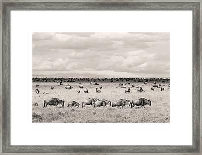 Herd Of Wildebeestes Framed Print