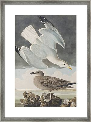 Herring Gull Framed Print by John James Audubon