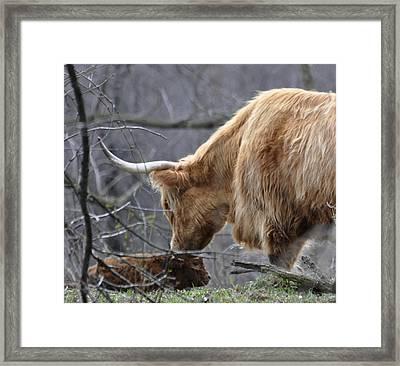 Highland New Born Framed Print