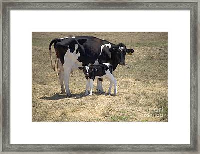 Holstein Cow With Calf Framed Print by Inga Spence