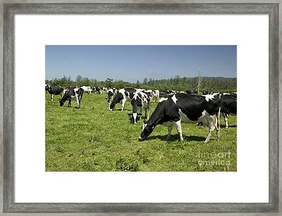 Holstein Cows Grazing Framed Print