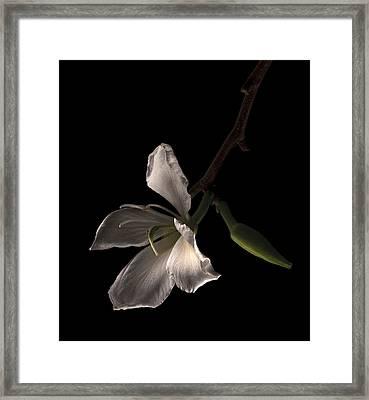 Hong Kong Orchid Framed Print by Lou  Novick
