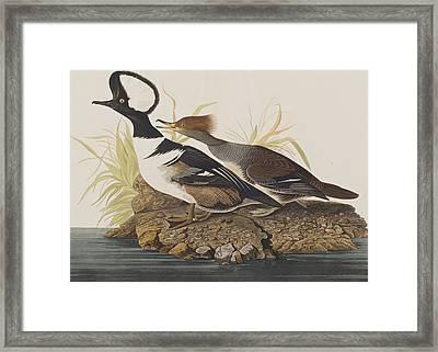 Hooded Merganser Framed Print by John James Audubon
