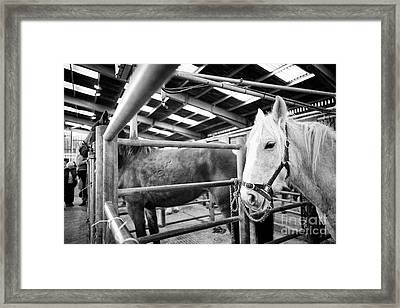 Horses To Be Auctioned At Horse And Livestock Auction Barn Beeston Castle England Uk Framed Print by Joe Fox