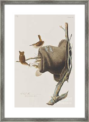 House Wren Framed Print by John James Audubon