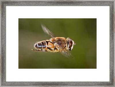 Hoverfly In Flight Framed Print
