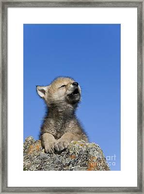 Howling Wolf Cub Framed Print