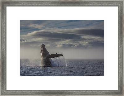 Humback Whale Breaching In Chatham Strait Framed Print by Wild Montana Images