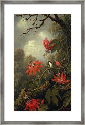 Hummingbird And Passionflowers Framed Print