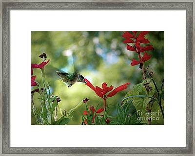Hummingbird Delight Framed Print by Sue Stefanowicz
