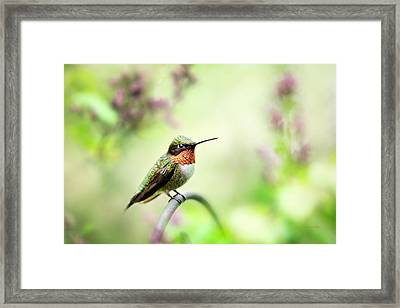 Framed Print featuring the photograph Hummingbird II by Christina Rollo