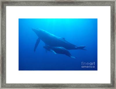 Humpback Mother And Calf Framed Print by Ed Robinson - Printscapes