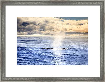 Humpback Whale Framed Print by Alexey Stiop