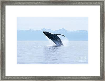 Humpback Whale Breaching Framed Print by John Hyde - Printscapes
