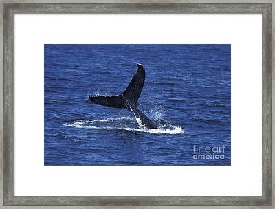 Humpback Whale Megaptera Novaeangliae Framed Print by Gerard Lacz