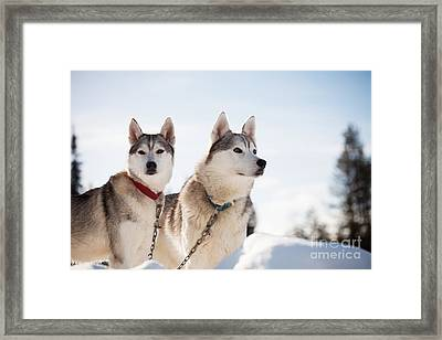 Huskies Framed Print