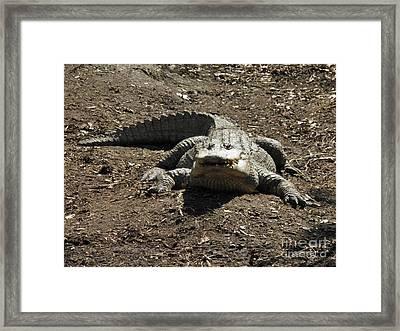 I See You Alligator Framed Print by Earl Williams Jr