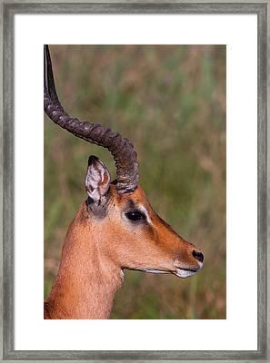 Impala Portrait Framed Print