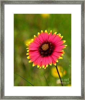 Indian Blanket Framed Print by Paul Anderson
