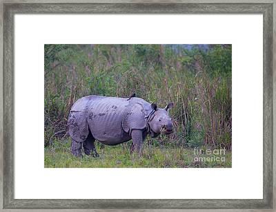 Indian Rhinoceros, India Framed Print