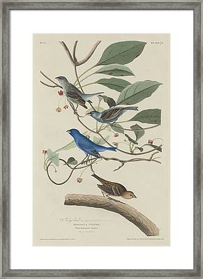 Indigo Bird Framed Print by Rob Dreyer
