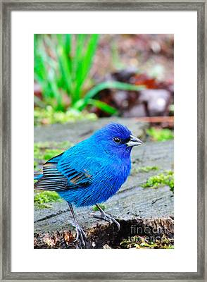 Indigo Bunting Framed Print by Thomas R Fletcher