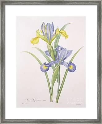 Iris Xiphium Framed Print by Pierre Joseph Redoute