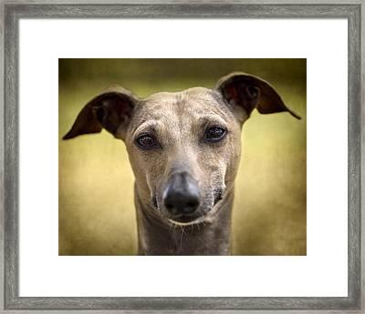 Italian Greyhound Portrait 2 Framed Print