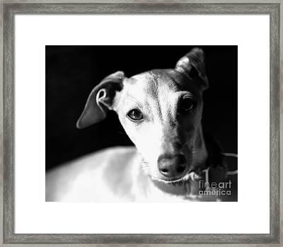 Italian Greyhound Portrait In Black And White Framed Print