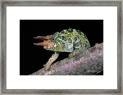 Jacksons Chameleon Chamaeleo Jacksoni Framed Print