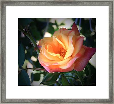 Jacob's Rose Framed Print by Marna Edwards Flavell