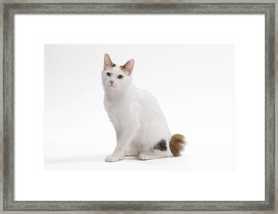 Japanese Bobtail Cat Framed Print