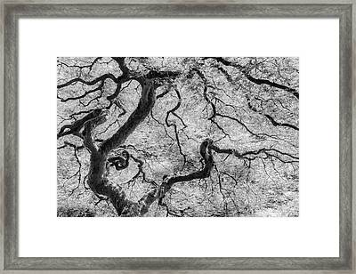 Japanese Maple Framed Print by Joseph Smith