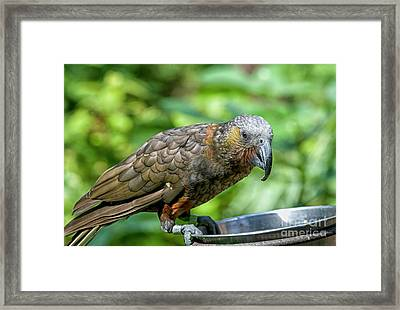 Framed Print featuring the photograph Kaka by Patricia Hofmeester
