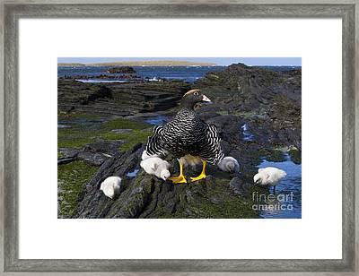 Kelp Goose With Goslings Framed Print by Jean-Louis Klein & Marie-Luce Hubert