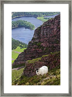 Kerry Mountain Sheep Ireland Framed Print by Pierre Leclerc Photography
