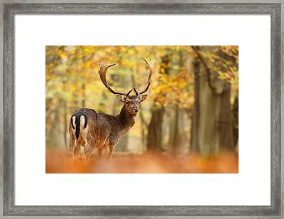 King Of The Forest _ Fallow Deer Buck Framed Print by Roeselien Raimond