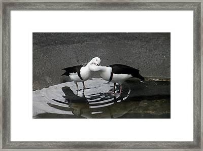 Kissing Ducks Framed Print