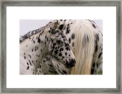 Knabstrupper Foal Framed Print