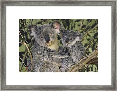 Koala Phascolarctos Cinereus Mother Framed Print