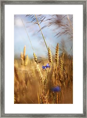 Kornblumen Framed Print by Renata Vogl