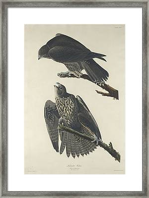 Labrador Falcon Framed Print by Rob Dreyer