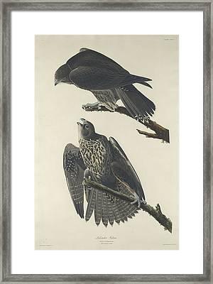 Labrador Falcon Framed Print by Anton Oreshkin