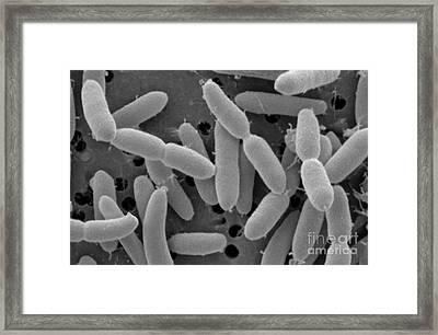 Lactobacillus Acidophilus Framed Print