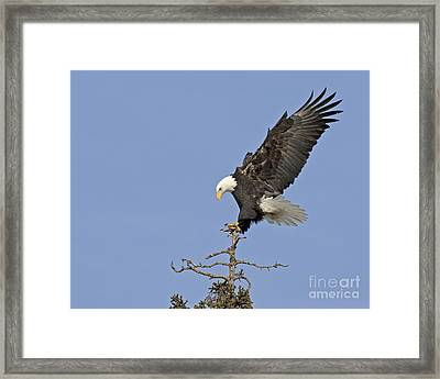 Landing Eagle Framed Print by Tim Grams