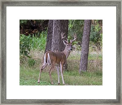 Large Buck Framed Print